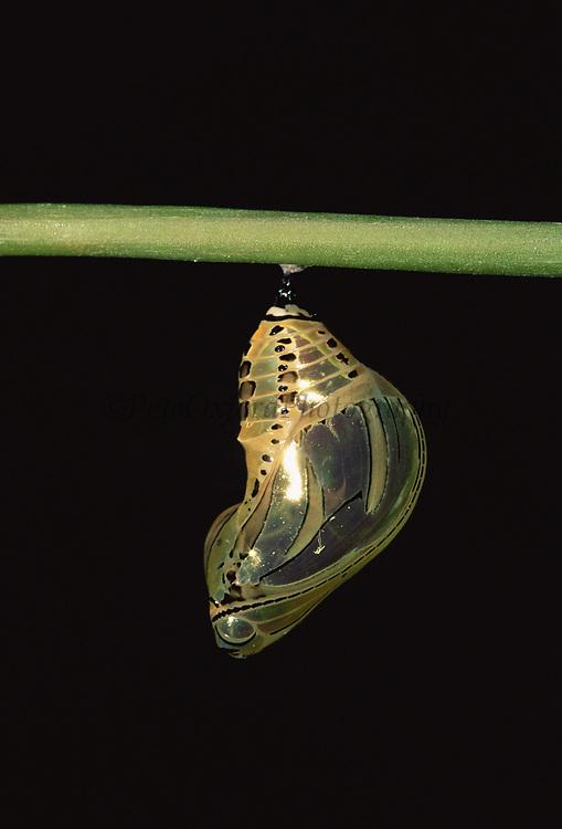 Butterfly Pupa or Chrysalis<br />Tithorea  harmonia<br />Amazon Rain Forest, ECUADOR.  South America