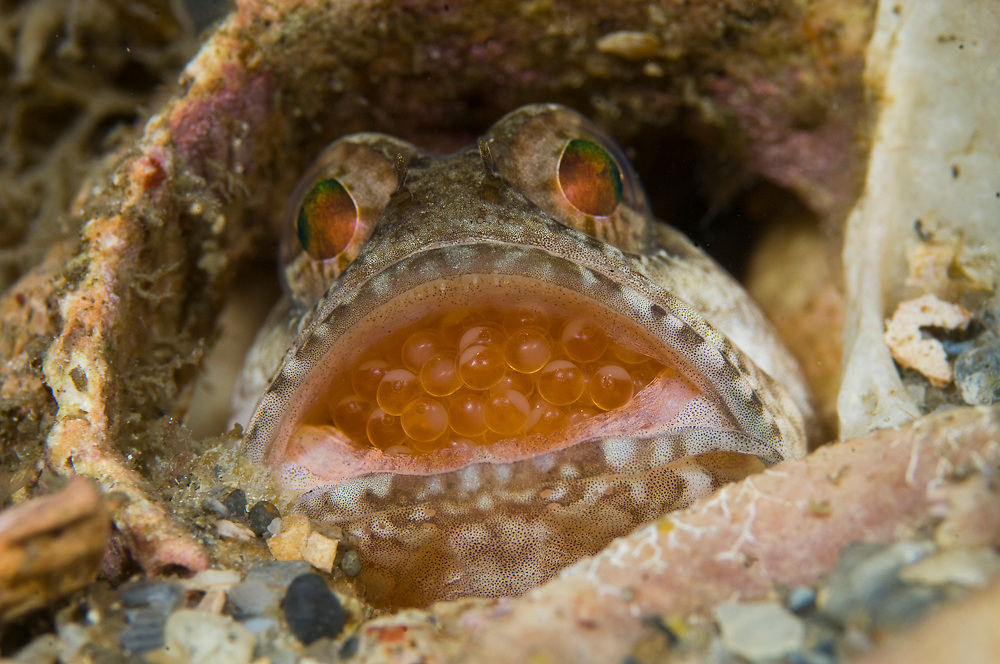 Male Dusky Jawfish (Opistognathus whitehurstii) incubating eggs in his mouth. This species is known as a paternal mouthbrooder. After spawning, the male will pick up the female's eggs in keep them in his mouth for a period of 7-10 days in order to give the embryos a greater chance of survival. Photo taken in the Lake Worth Lagoon, an estuary near the Palm Beach Inlet in Palm Beach County, FL.