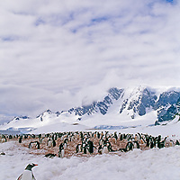 ANTARCTICA. Gentoo penguin colony on Cuverville Island, South Shetland Islands.