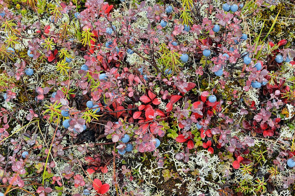 Arctic blueberry (Vaccinium uliginosum) Autumn foliage and berries, Arctic Haven lodge on Ennadai Lake, Nunavut, Canada