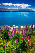 Wildflowers at Lake Pukaki in the Southern Alps, Canterbury, South Island, New Zealand