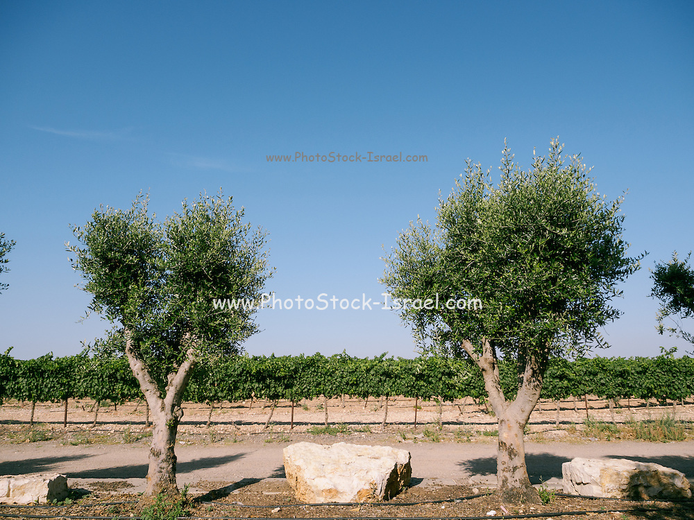 Grape vines and Olive Trees in a vineyard Photographed in Israel