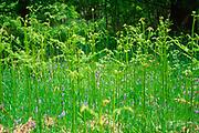 AF5GKB Pteridium aquilinum bracken fern leaf frond in grass