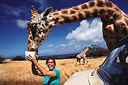Tourist feeds a giraffe at Molokai Ranch Wildlife Park, Hawaii. USA.