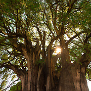 El Árbol del Tule is a tree located in the church grounds in the town center of Santa María del Tule in the Mexican state of Oaxaca, on the road to Mitla. It is a Montezuma cypress, or ahuehuete.