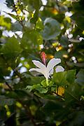 Native White Hibiscus Flower, Manoa Heritage Center, Honolulu, Oahu, Hawaii