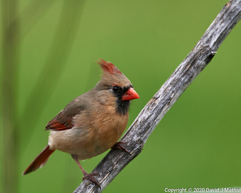 Female Northern Cardinal. Image taken with a Nikon D5 camera and 600 mm f/4 VR lens (ISO 720, 600 mm, f/5.6, 1/1250 sec)