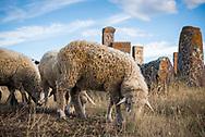 Sheep graze among the khachkars at Noratus cemetery, a medieval graveyard near Lake Sevan in Armenia.