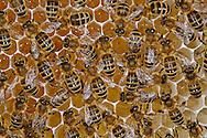 DEU, Deutschland: Biene, Honigbiene (Apis mellifera), Bienen auf einer Wabe, Zellen sind mit Honig gefüllt, Bienenstation an der Bayerischen Julius-Maximilians-Universität Würzburg | DEU, Germany: Bee, Honey-bee (Apis mellifera), bees on a honeycomb, cells are filled with honey, Beestation at the Bavarian Julius-Maximilians-University Würzburg