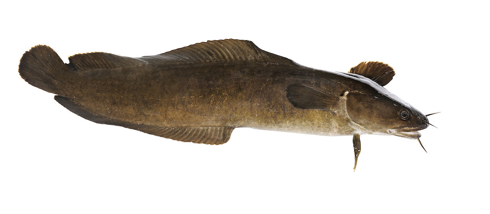 Shore Rockling Gaidropsarus mediterraneus Length to 30cm<br /> Similar to Five-bearded but with 3 barbels. Found on lower shore, under rocks and in pools. Adult is dark brown overall, paler below than above. Head has 3 barbels. Fin arrangement is similar to that of Five-bearded. Local, SW only. NOTE Young of this species, and other rocklings, are known as 'mackerel midges' and are greenish above, silvery below; they are found among drifting seaweed rafts, and tangled hiding places on the seabed.