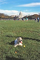 Dog On Washington D  C Mall