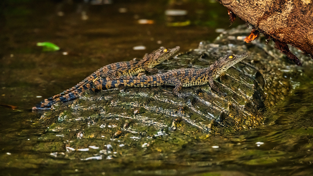 A couple of young Nile Crocodiles, find their mother's back a useful resting perch, on the banks of the River Nile, Uganda.<br /> <br /> Code: WFUW0024<br /> <br /> Available as an open edition print and as a stock image.<br /> <br /> Add to Cart to view options & pricing.
