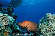 graysby ( grouper ), Cephalopholis cruentata ( formerly <br /> Epinephelus cruentatus / Cephalopholis cruentatus )<br /> Spanish Wells, off Eleuther Island, <br /> Bahamas ( Western Atlantic Ocean )