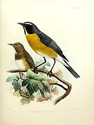 Male and female white-throated robin (Irania gutturalis [Here as Erithacus gutturalis]), or irania, is a small, sexually dimorphic, migratory passerine bird From the survey of western Palestine. The fauna and flora of Palestine by Tristram, H. B. (Henry Baker), 1822-1906 Published by The Committee of the Palestine Exploration Fund, London, 1884
