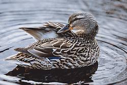 THEMENBILD - eine Ente reinigt das Federkleid am Zeller See, aufgenommen am 09. Maerz 2021 in Zell am See, Österreich // a duck cleans the feathers on the lake of Zell, Zell am See, Austria on 2021/03/09. EXPA Pictures © 2021, PhotoCredit: EXPA/ JFK