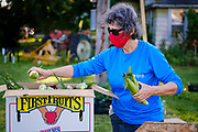 27 JULY 2020 - CARLISLE, IOWA: CARLENE RUSSELL, from Des Moines, packs gleaned sweet corn on the Butcher Creek Farm in Carlisle. Volunteers from Eat Greater DSM gleaned sweet corn in the fields on the farm. The corn was packaged and will be distributed to Des Moines emergency pantries, community centers, and churches this week. Gleaning is the act of collecting leftover crops from farmers' fields after they have been commercially harvested or gathering crops from fields where it is not economically profitable to harvest. It is an ancient tradition first described in the Hebrew Bible. A spokesperson for Eat Greater DSM said food assistance need has skyrocketed this year. In a normal year, they distribute about 300,000 pounds of food. Since the start of the COVID-19 pandemic in March, they've distributed more than 500,000 pounds of food.        PHOTO BY JACK KURTZ