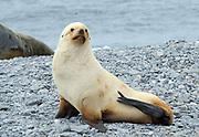 A young Leucistic male Antarctic Fur Seal (Arctocephalus gazella) on the beach of Shingle Cove. Coronation Island, South Orkney Islands. 28Feb16