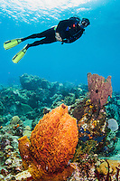 A male diver explores a barrel sponge and  corals, St. Lucia.