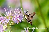04005-00418 Snowberry Clearwing (Hemaris diffinis) on Wild Bergamot (Monarda fistulosa) Marion Co. IL