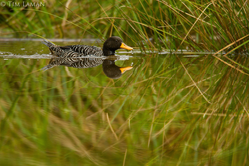 Salvadori's Teal (Anas waigiuensis) in the bog pond at 1650 m in the Foja Mountains.<br />This is a rare duck found only in the mountains of New Guinea.