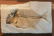 Fossil of a Proscinetes elegans. Proscinetes is an extinct genus of prehistoric ray-finned fish from the Jurassic