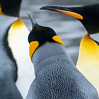 Detail of the artful feathers of three king penguins in a massive breeding colony at Gold Harbour on South Georgia Island.