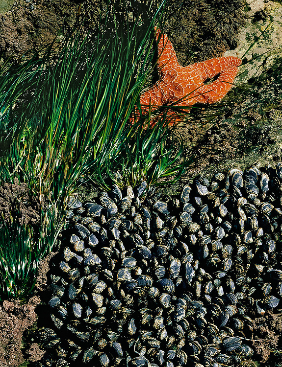 Sea star, mussels and eel grass, Beach 4, Olympic National Park, WA, USA