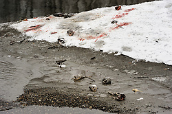 Partially eaten carcasses of dead chum salmon (Oncorhynchus keta) lie on the bank of the Chilkat River in the Alaska Chilkat Bald Eagle Preserve near Haines, Alaska. Bald eagles feed on the salmon as they return to spawn in the river.