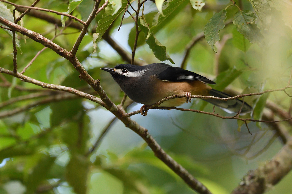 White-eared sibia, Heterophasia auricularis, Endemic, Lalashan Forest Reserve, Baling, Taiwan