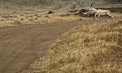 24-10-2008 REPORTAGE: KILIMANJARO CHALLENGE 2008: TANZANIA <br /> De dag van De Ngorongoro-krater, de grootste intakte caldera (ingestorte vulkaankegel) ter wereld. Hij bevindt zich ten noordwesten van Arusha in Tanzania / Wild, dieren, Natuur, vogels, Gazelle<br /> ©2008-FotoHoogendoorn.nl