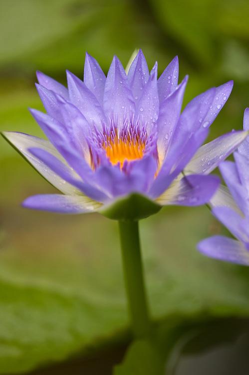 Huahine, French Polynesia, Lotus blossom, raindrops
