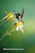 01162-05217 Ruby-throated Hummingbird (Archilochus colubris) male on Yellow Columbine (Aquilegia chrysantha) Shelby Co.  IL
