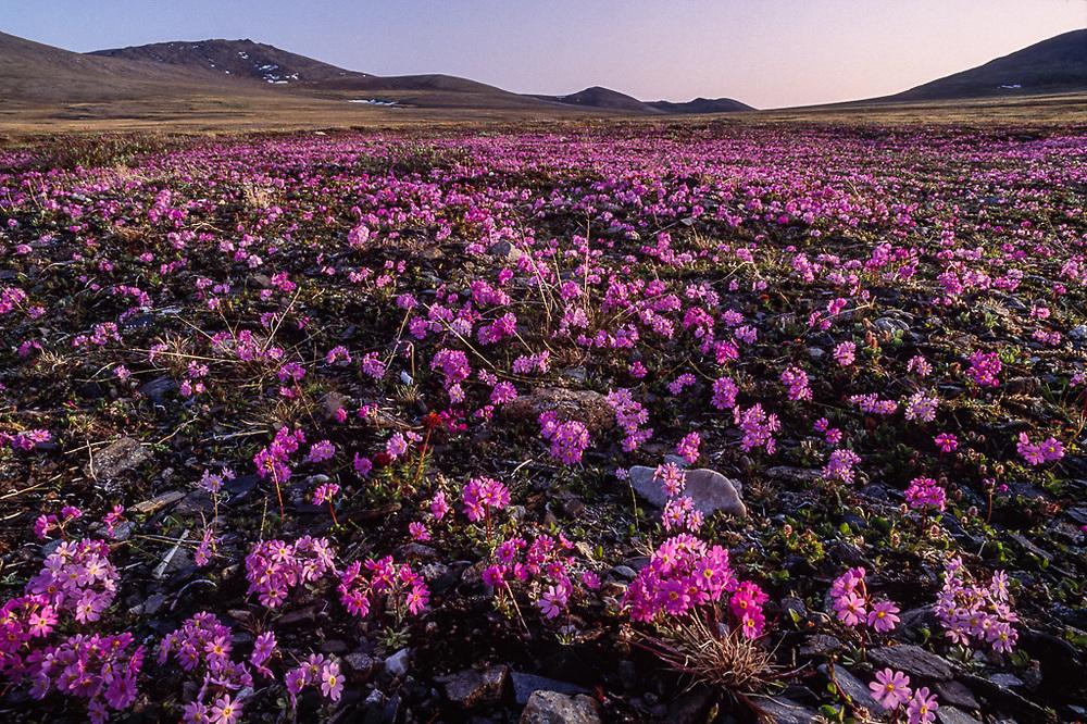 Dwarf primrose, evening light, Yttygran Island, Senyavina Strait, Chukotsk Peninsula, Northeast Russia