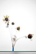 dried sunflowers seen through frosted glass