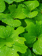 Image of Bloodroot leaves with water droplets after a rainstorm. Fitchburg, Wisconsin, USA.