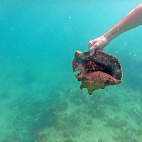France, Guadeloupe, Iles des Saintes. Dibver holds a Hawkwing Conch Snail in the Caribbean.