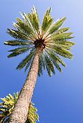 A single palm tree stands tall in Waikiki.