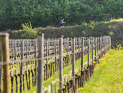 Woman hiking through vineyard terraces near village of Oberrotwei, Baden-Wuerttemberg, Germany