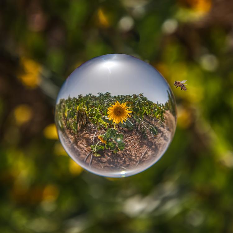 Sunflower field shot through a crytal ball