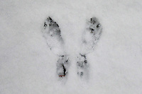 Rabbit Tracks in Fresh Snow. Winter in New Jersey. Image taken with a Leica D-Lux 5 camera (ISO 250, 13.9 mm, f/2.9, 1/100 sec)
