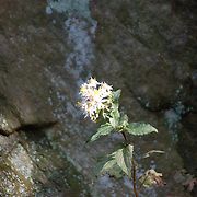 Found this flower growing up out of the rocks in Fort Tryon Park, New York City.