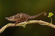 Lesser chameleon (Furcifer minor) male, Ambohijanahary Special Reserve, MADAGASCAR, endemic