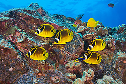 Raccoon Butterflyfish, Chaetodon lunula, at cleaning station, cleaned by Hawaiian Cleaner Wrasse - endemic species, Labroides phthirophagus, Endemic to HawaiiKona, Big Island, Hawaii, Pacific Ocean