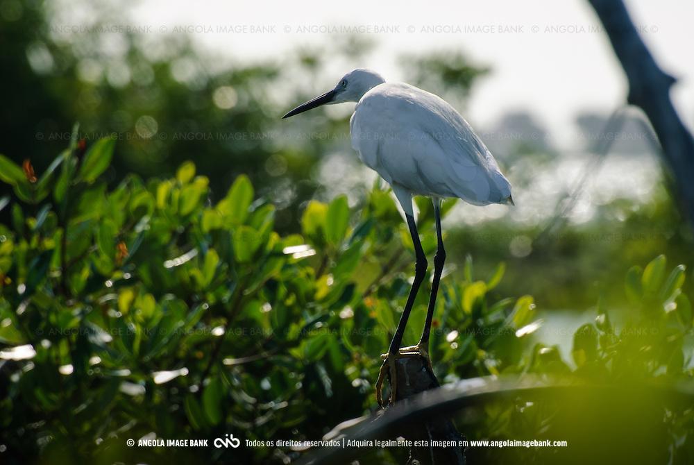 Uma ave (garça-branca, Lat.: Egretta garzetta) nos mangais verdes da baía do Mussulo, perto da ilhota da Quissanga. Angola