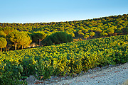 Pine trees and vineyard in ribera del Duero wine production area, Valladolid,  Spain