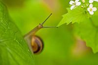 Snail on Alliaria petiolata leaves, Hallerbos forest, Belgium