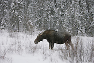 Photo Randy Vanderveen.Grande Prairie, Alberta.A moose browses for food among willows in a snow covered clearing south of Grande Prairie, Alberta Wed, Jan. 7/09. The weather through December and the early part of the new year has been very wintry in western Canada with snow and below average temperatures and high wind chill values. The forecast for Northwestern Alberta is calling for the cold snap to moderate in the coming week.