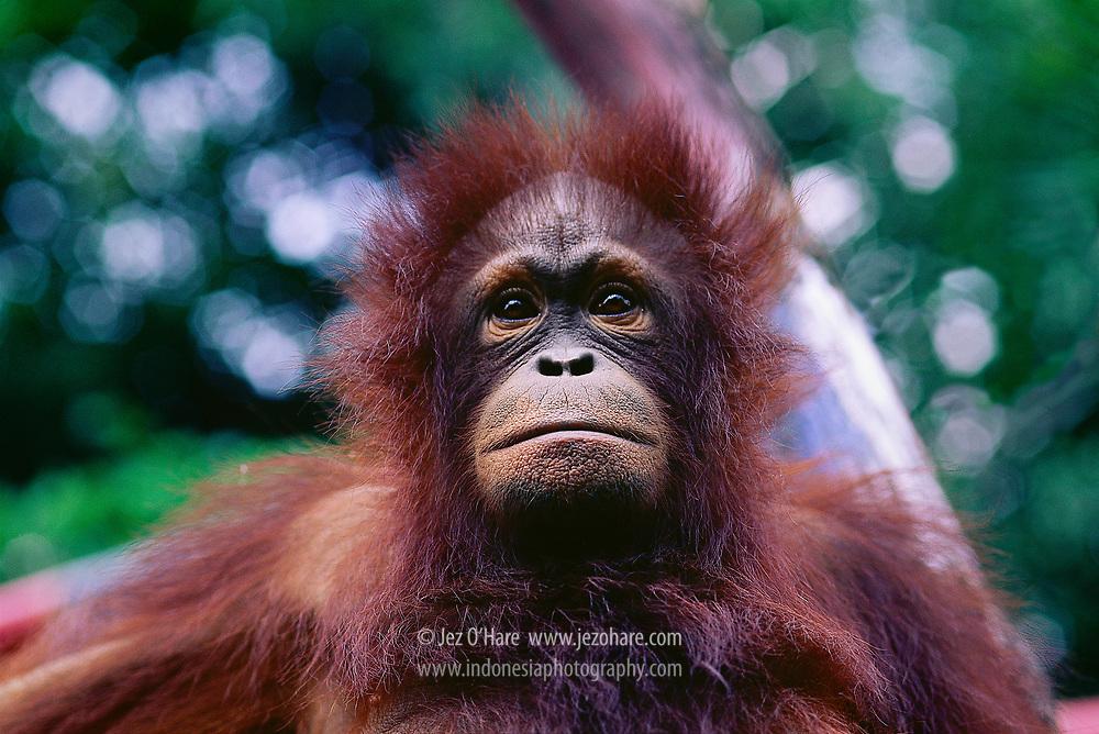 Orangutan in rehabilitation center, Indonesia.