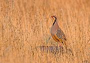 Closeup of a single Chukar Partridge or Chukar (Alectoris chukar) Photographed in Israel, Arava desert in May