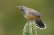 Cactus Wren - Campylorhynchus brunneicapillus - Adult